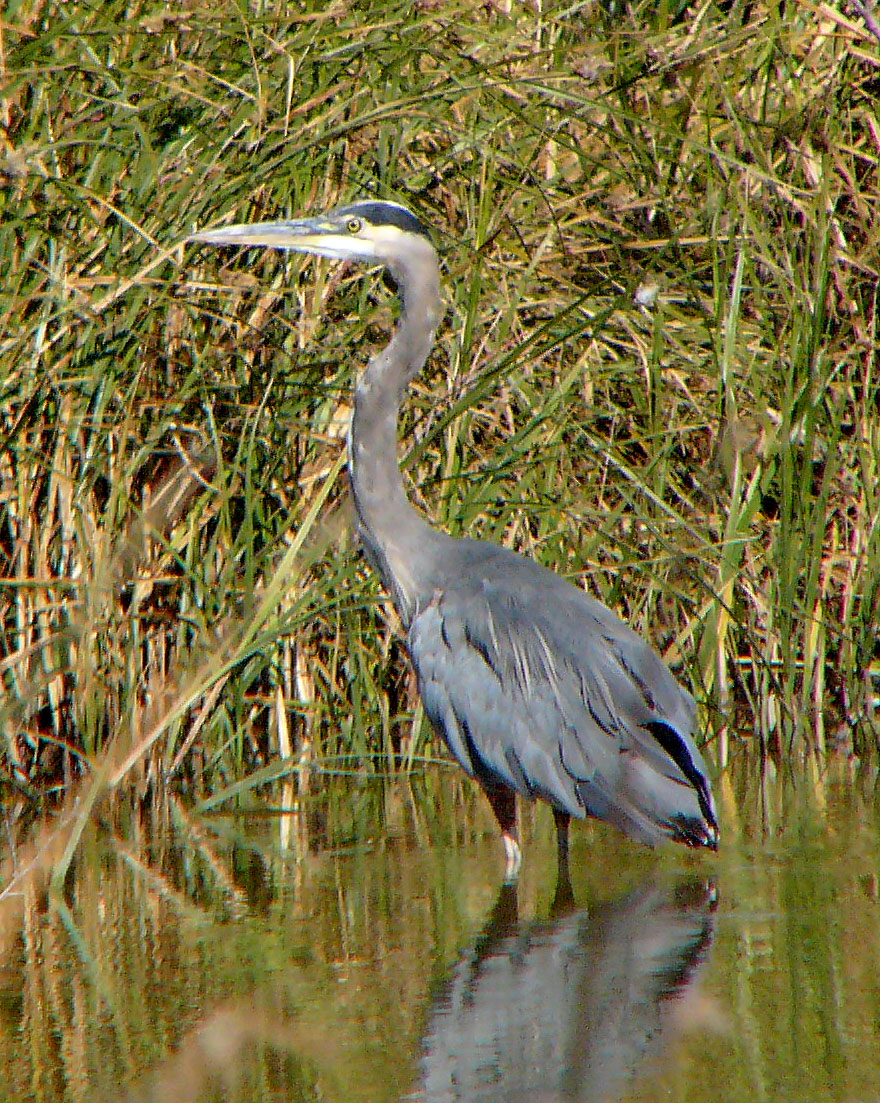 Great%20Blue%20Heron%202.jpg